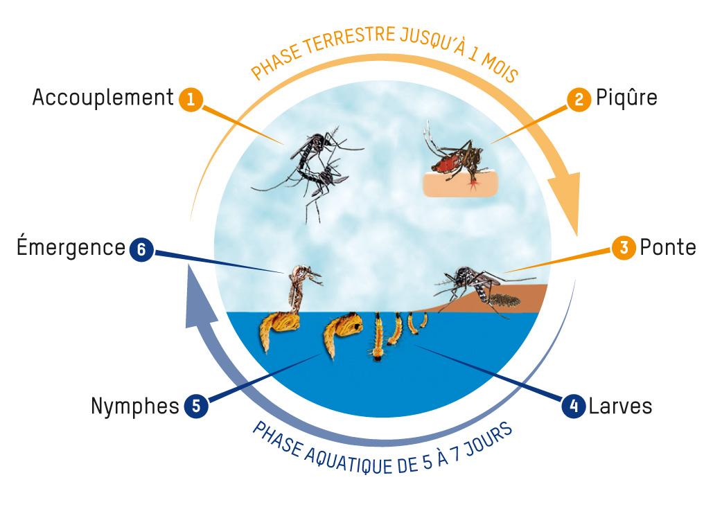 Cycle de vie des moustiques tigres